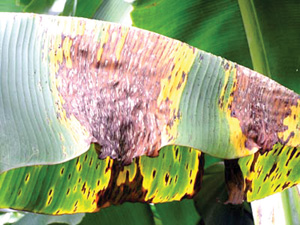 Banana plants afflicted with Black Sigatoka